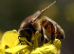 abeille-butineuse_2440.jpg